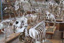 Skeletal / Skeletal Specimens and Illustrations.