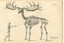 Megaloceros Giganteus / Giant Deer species.