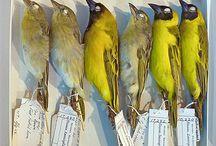 Bird Skin / Bird skin specimens prepared and collected for scientific study.
