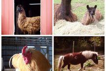 Hyland Orchard Barnyard! / Life at the Barn at our Orchard