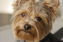 Yorkies / Browse precious pictures of Yorkshire Terriers here and shop harnesses, clothing and more for yorkies at www.Chic-Dog-Boutique.com.