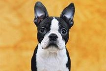 Boston Terriers / Love Boston Terriers? Discover cute photos of Boston Terrier dogs as well as Boston Terrier facts, information and fun products.