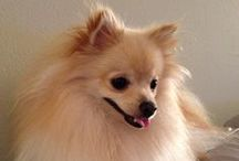 Pomeranians / We can't get enough of fluffy Pomeranian puppies so we put together this board of adorableness! Here you'll find the cutest pictures of Pomeranian dogs on the Internet to brighten your day. Group Board Rules: Max 2 pins/day of your own dog related content plus a Pomeranian pin. Pin back from this board to your own boards!