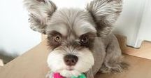 Schnauzers / Can't get enough of Schnauzers? You've come to the right board! Browse adorable pictures of Schnauzer dogs including miniature Schnauzers and Schnauzer puppies. Find breed information on these lovable dogs too!