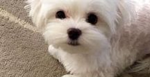 Maltese / Browse cute photos of Maltese dogs and shop dog harnesses and accessories for your pet Maltese or other small dog at www.Chic-Dog-Boutique.com.
