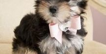 Morkies / This board is all about adorable Morkie puppy dogs! For those that don't know about this small, mixed dog breed, the formula for this cuteness is Yorkie + Maltese = Morkie <3