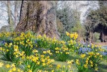 Spring flowers / Tulips, daffodils, bluebells all come alive in the spring months at Waddesdon.