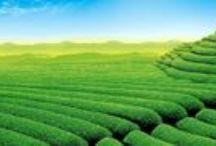 Cytaty o herbacie / nasze wybrane cytaty