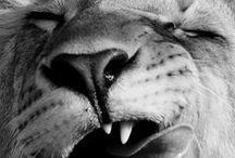 Wildcats, Horses & Elephants