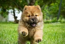 Fantastic Chow Chows / Chow chows are very underrated. They are loving, loyal and wonderful family pets. They have fantastic guarding instincts. They were originally bred to guard the emperor of China.