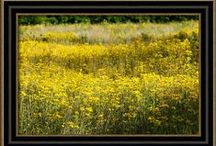 Carla Pivonski® Images - Field Of Gold / Landscape images by photographer, Carla Pivonski.