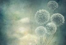dandelions <3
