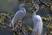 egrets  herons