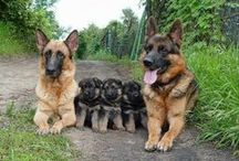German Shepherd Dogs / Dogs / by David Ledger