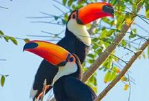Tucanos / If you are fascinated by Toucans as I am, share your pins here.