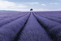 Lavenderland } Style file / Lavender, a timeless classic for all garden styles