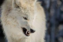 Wolf stuff / by K B