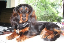 """Indie / Our lovely Mini long-haired Daschund """"Indie"""""""