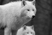 •• Wild Wolf ••