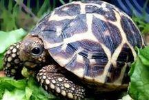 •• Turtles ••