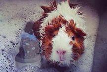 •• Guinea pigs ••