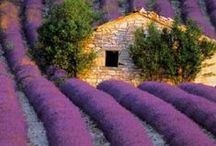 All Things Lavender / by Lesley Thomson
