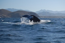 Mexico - Baja Sur California / In the middle of a pod of Humpback Whales,  turtle release near Todo Santos, Whale Sharks, Sea Lions, Friggots and more wildlife than you can imagine in the Sea of Cortez near La Paz!  Cabo San Lucas and more.