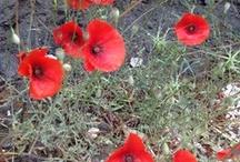 Wild Flowers / Eastern Mediterranean