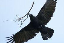 Ravens, Crows