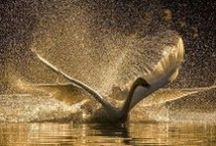 Swan Beauty Birds - Air / swans and birds - air element