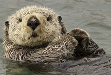 Animals ✿ Otters