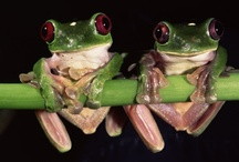 Animals ✿ Frogs