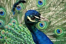 Animal ♞	Peacocks