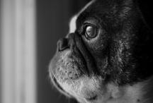 photo : churchills / My favourite bulldogs...
