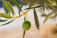 Ancient Olives Garden / This about the Mediterranean's largest ancient olive grove, placed in Lun, the northernmost point of the Pag island, where there are about 80,000 olive trees, aged about 1200 years.