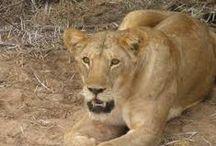 Africa / Una famiglia durante il percorso vengono avvicinati da una leonessa che improvvisamente è riuscita ad aprire lo sportello della macchina con i denti...