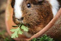 ♥ Morčátka  = Guinea pig ♥ / sweet piggies