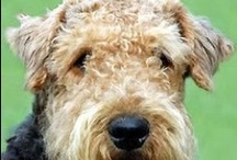 AIREDALES / by MARJIE SMYTH-martin