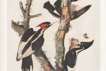 Art - John James Audubon / by Lois