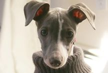 Dogs  / Funny Whippets and cute pets