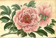 Flowers - Botanical
