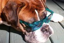 Boxers / Random photos of Boxer Dogs