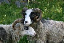 Lampaita ja pässejä/sheep, lamb / Ahvenanmaanlampaita ja -pässejä ja suomenlampaita ja vähän muitakin..