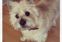 Cairn Terriers and Westies / Cairn terriers & West Highland Terriers- breeds that came from the same terrier. / by Jackie Winn