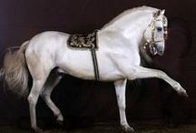 Andalusians & Lusitanos #2 / Iberian Horses / by Jackie Winn