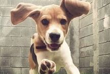 All about Beagle :)