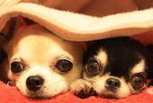 ilovedogs / No dogs, no life!!  I am a chimom myself.