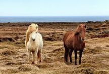 Horses of Iceland in autumn / The Iceland riding horse offers you adventure and good company, no matter when you travel in Iceland on vacation. The   horse is unique, colorful, and welcoming, and it will take you closer the nature. Riding it in the golden Icelandic autumn, will make you have unforgettable holiday memories to bring back home.
