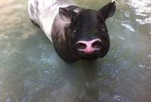 Malayan Tapir / The Malayan tapir, also called the Asian tapir, is the largest of the four species of tapir and the only one native to Asia. The scientific name refers to the East Indies, the species' natural habitat. Wikipedia Scientific name: Tapirus indicus