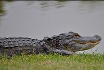 American Alligator / The American Alligators (Alligator mississippiensis) inhabits the southeastern United States. Once a federally listed endangered species, American Alligators have recovered and are common in many areas of the Southeast.